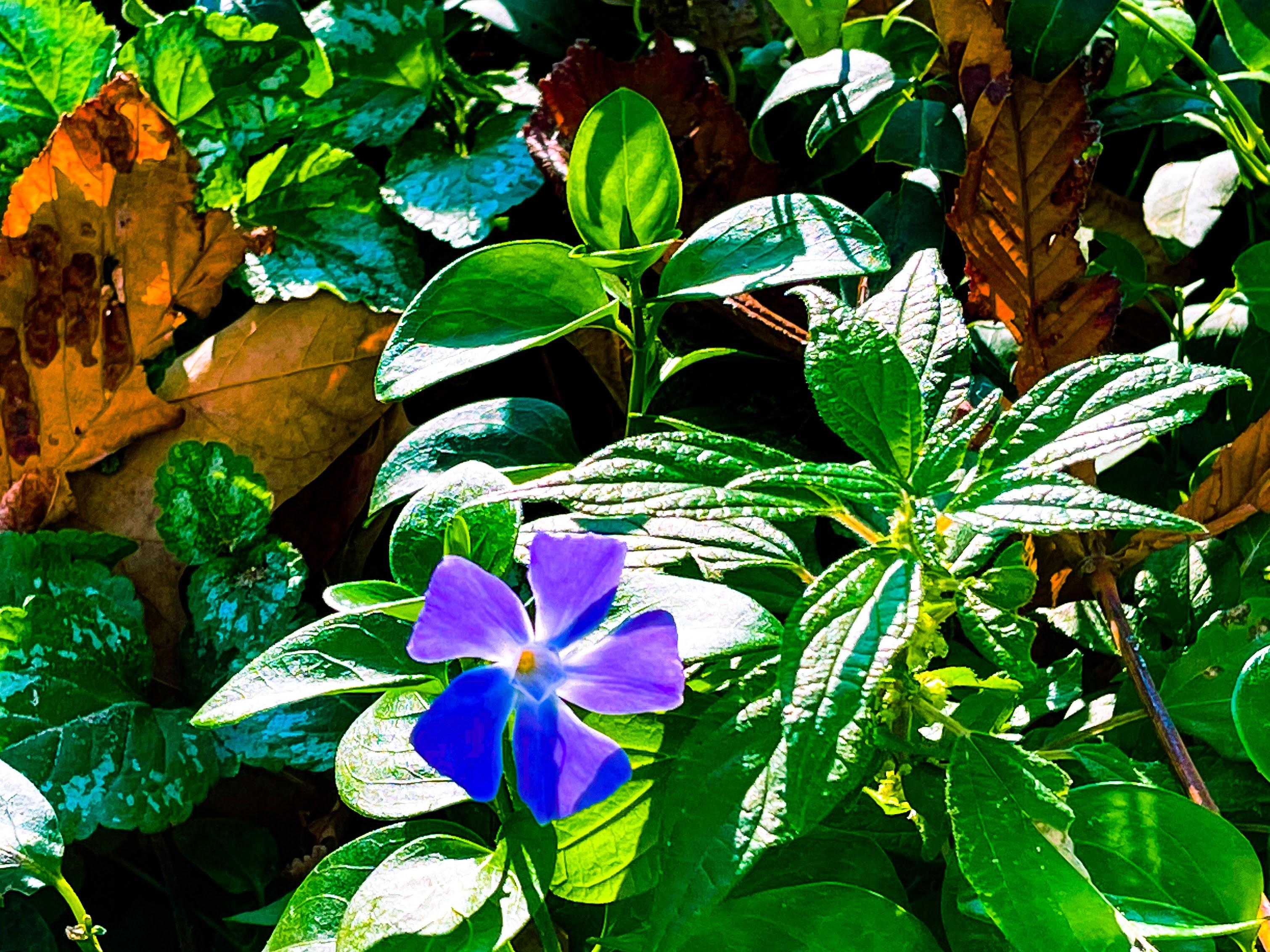 Grande pervenche est une plante herbacée pérenne de la famille des Apocynacées. PLante astringente, dirétique, dépurative, tonique, elle est utilisée pour les trouble de la mémoire.